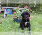 Small #8 Labrador Retriever-Sheepadoodle Mix