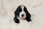 Bernese Mountain Poo Puppy For Sale in ELBURN, IL, USA