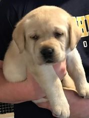 Labrador Retriever Puppy For Sale in MARS, PA
