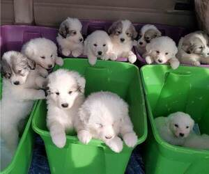 Great Pyrenees Puppy for Sale in ALTAVISTA, Virginia USA