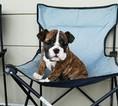 English Bulldogge Puppy For Sale in LOS ANGELES, CA