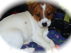 Jack Russell Terrier-Unknown Mix Puppy For Sale in HAMMOND, IN