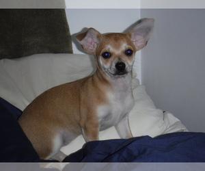 Chihuahua Puppy for sale in MANKATO, MN, USA