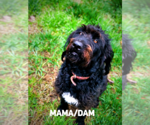 Mother of the Labradoodle puppies born on 05/30/2019