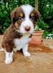 Australian Shepherd Puppy For Sale in POMEROY, OH