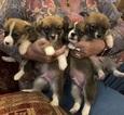 Pembroke Welsh Corgi Puppy For Sale in ADRIAN, MI, USA