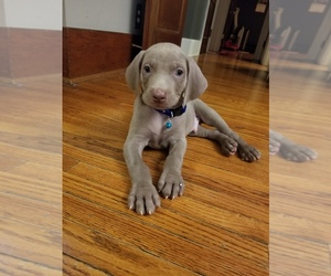 Weimaraner Puppy for Sale in DAVENPORT, Iowa USA