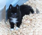 Small #3 Huskimo