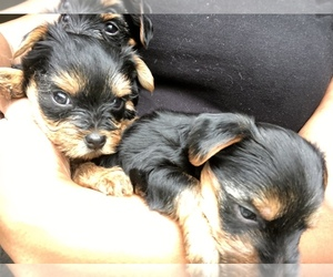 Yorkshire Terrier Puppy for sale in BOLINGBROOK, IL, USA