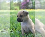 Puppy 6 Puggat