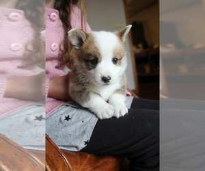 Pembroke Welsh Corgi Puppy for sale in FAIR GROVE, MO, USA