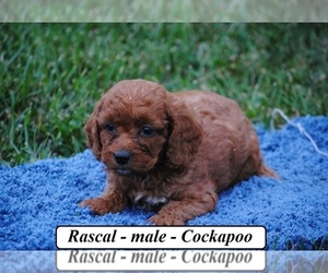 Cocker Spaniel-Poodle (Miniature) Mix Puppy for sale in HOPKINSVILLE, KY, USA
