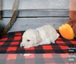 Puppy 1 English Cream Golden Retriever-Poodle (Standard) Mix