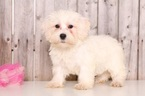 Schnoodle (Miniature) Puppy For Sale in MOUNT VERNON, OH, USA