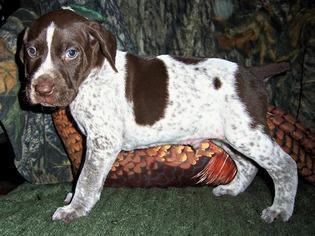 German Shorthaired Pointer Dog for Adoption in ELBERTA, Alabama USA
