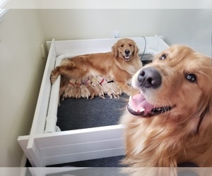 Mother of the Golden Retriever puppies born on 04/04/2020