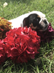 English Bulldogge Puppy For Sale in CALDWELL, TX, USA
