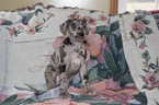 Great Dane Puppy For Sale near 44223, Cuyahoga Falls, OH, USA