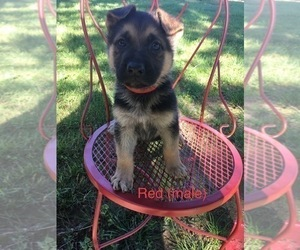 German Shepherd Dog Puppy for Sale in LAUREL, Indiana USA