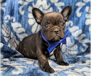 French Bulldog Dog for Adoption in LANCASTER, Pennsylvania USA
