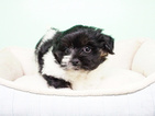 Shih Tzu-Yorkiepoo Mix Puppy For Sale in LAS VEGAS, NV, USA