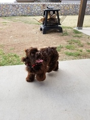 Cocker Spaniel Dog For Adoption in EL PASO, TX, USA