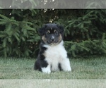 Small Photo #3 Australian Shepherd Puppy For Sale in CARMEL, IN, USA