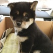 Shiba Inu Puppy For Sale in SAYREVILLE, NJ