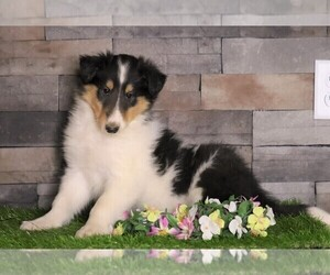 Medium Collie