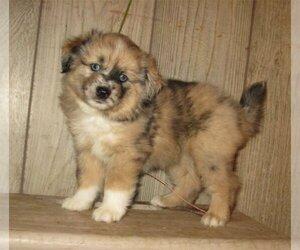 Australian Eskimo-Australian Shepherd Mix Puppy for Sale in CAMPBELL, Minnesota USA