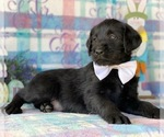 Small #1 Labradoodle