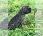 Puppy 3 Cane Corso