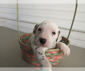 Dalmatian Puppy for sale in LIMA, OH, USA