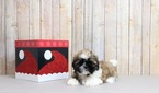 Shih Tzu Puppy For Sale in PORTSMOUTH, OH, USA