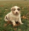 Australian Shepherd Puppy For Sale near 60962, Roberts, IL, USA