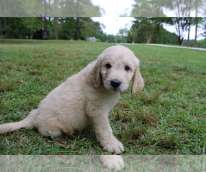 Goldendoodle Puppy for Sale in MIDDLESEX, North Carolina USA