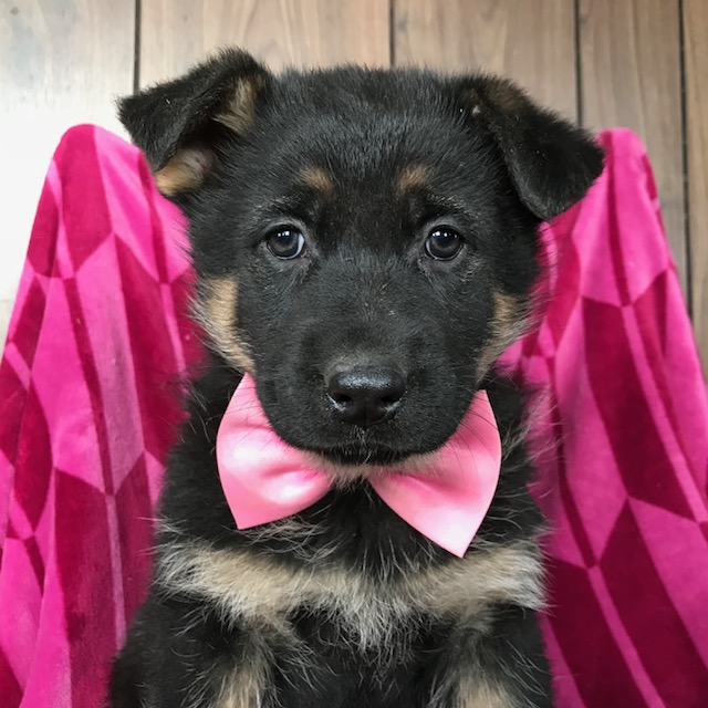 View Ad: German Shepherd Dog Puppy for Sale near In New South Wales Australia