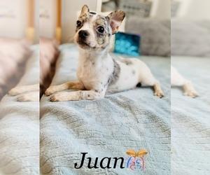 Medium Chihuahua