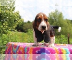 Small Photo #11 Basset Hound Puppy For Sale in UNION CITY, TN, USA