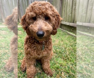 Goldendoodle (Miniature) Puppy for sale in CYPRESS, TX, USA