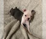 Small #20 Boston Terrier
