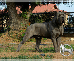 Father of the Cane Corso puppies born on 06/23/2019