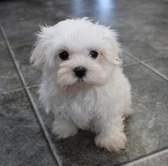 View Ad Maltese Puppy For Sale Iowa Cantril Usa