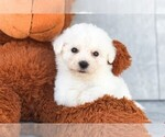 Cooper The Bichon Puppy
