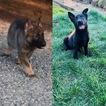 German Shepherd Dog Puppy For Sale in OAKHURST, CA, USA