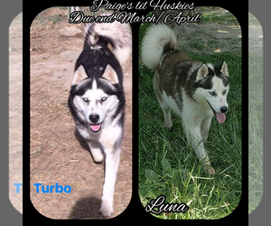 Siberian Husky Puppy for Sale in BLOOMFIELD, Indiana USA