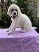 Poodle (Standard) Puppy For Sale in CHARLESTON, SC, USA