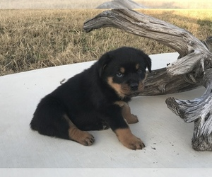 Rottweiler Puppy for sale in HUTTO, TX, USA