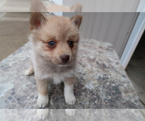 Pomsky Dog for Adoption in SOUTH BEND, Indiana USA