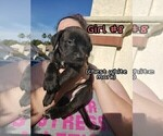 Small #8 American Pit Bull Terrier-Cane Corso Mix